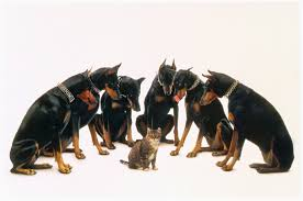 Do Miniature Doberman Pinschers Shed by Everything About Your Doberman Pinscher Luv My Dogs