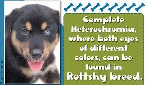 Do Samoyed Huskies Shed by Information About The Rottweiler Siberian Husky Mix Rottsky