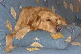 nettoyer pipi de chien sur canapé mon chien sent mauvais comment le désodoriser