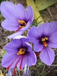 wholesale crocus sativus flower bulbs saffron crocus dutchgrown