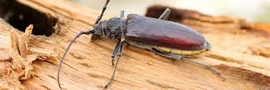 holzwurm käfer im brennholz gefahr fürs haus
