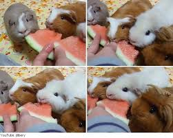 Can Guinea Pigs Eat Salted Pumpkin Seeds by Cuddly Guinea Pigs Slaughtering Watermelon Organic Authority