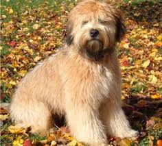 kaven ranch soft coated wheaten terriers