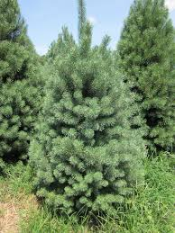 Leyland Cypress Christmas Tree by Scotch Pine Forest For The Trees Pinterest