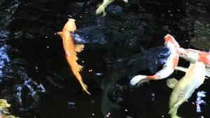 Big Catfish In Backyard Pond .. - YouTube Backyard Aquaculture Raise Fish For Profit Worldwide 40 Amazing Pond Design Ideas Koi And Turtle Water Garden Wikipedia Small Backyard Pond Care Small Ponds To Freshen Your Goldfish Catfish Waterfall Youtube Stephens Aquatic Services Inc Starting A Catfish Farm With Adequate Land Agric Farming How To Start From Tractor Or Car Tires 9 Steps Pictures In July Every Year We Have An Event Called Secret Gardens Last The Latest Home