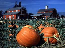 Pumpkin Picking Nj Near Staten Island by Pumpkin Picking At Decker Farm Nyc Sunflower