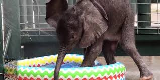 Baby Elephant Plays In Kiddie Pool For The First Time