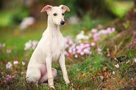 Why Is My Italian Greyhound Shedding by Miniature Pinscher Dog Breed Profile