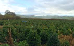 Fraser Fir Christmas Trees Uk by Buy A Christmas Tree And Help Raise Funds For Great Ormond Street