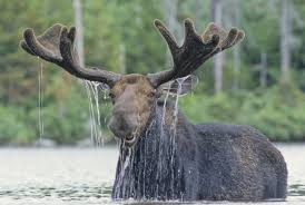 Moose Shedding Their Antlers by Moose Facts About Moose