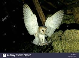 Flying Barn Owl Hunting In A Barn Stock Photo, Royalty Free Image ... Barn Owl Tyto Alba 4 Months Old Flying Stock Photo Image Beauty Of Bird Our Barn Owl The Tea Rooms Chat Rspb Community A Flying At Folly Farm In Pembrokeshire West Wales Winter Spirit By Hontor On Deviantart Audubon Field Guide Vector 380339767 Shutterstock Wallpaper 12x800 Hunting A Royalty Free Tattoos Tattoo Ideas Proyectos Que Debo Ientar