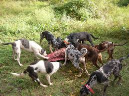 Best Hunting Dogs That Dont Shed by Blood Trail Dogs Finished Blood Trail Dogs For Sale