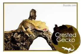Crested Gecko Shedding Behavior by A List Of 14 Types Of Geckos With Stunning Pictures