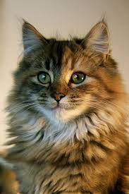 Siberian Cat Hair Shedding by 1698 Best My Idea Of A Cat Images On Pinterest Animals Maine