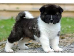 Do Akita Dogs Shed Hair by Akita Puppies For Sale Agra Dog Buy U0026 Sale Puppies For Sale