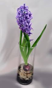 hyacinth bulb forcing kit includes 1 prechilled hyacinth
