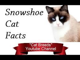 snowshoe cat snowshoe cat facts