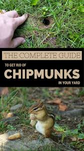 The Complete Guide To Get Rid Of Chipmunks In Your Yard ... How To Get Rid Of Skunks From Under A Shed Youtube Rabbits Identify And Rid Garden Pest Of And Prevent Infestation With Professional Skunk In Backyard Outdoor Goods To Your Yard Quick Ideas Image Beasts Diggings Droppings Moles Telegraph Mole Removal Skunk Control Treatments Repellent For The Home Yard Garden Odor What Really Works Pics On Extraordinary Affordable Wildlife Control Toronto Raccoon Squirrel Awesome A Wliinc