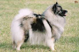 Dogs That Dont Shed Keeshond by Keeshond Dog Breed Information Buying Advice Photos And Facts