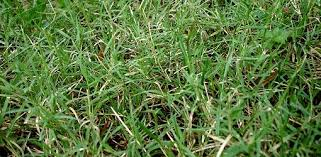 Carpet Grass Florida by How To Control Bermuda Grass Today U0027s Homeowner
