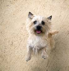 cairn terrier shed hair cairn terrier breed information pictures characteristics