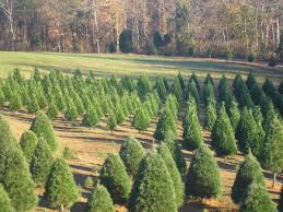 Leyland Cypress Christmas Tree by Looking To Cut Your Own Christmas Tree We U0027ve Got You Covered