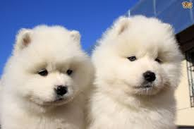 Do Samoyed Huskies Shed by Some More Information About The Samoyed Dog Breed Pets4homes