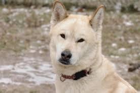 akita dog breed appearance grooming