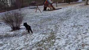 Stop Rat Terrier Shedding by Fia Our Kerry Blue Terrier Learning To Hunt Sheds Youtube