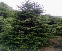 Fraser Fir Christmas Trees Artificial by 9 Ft Artificial Fraser Fir Christmas Tree Best Images