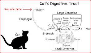 cat digestive system gut 101 condensed