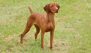 do vizsla dogs shed breed of the week vizsla paws playgrounds