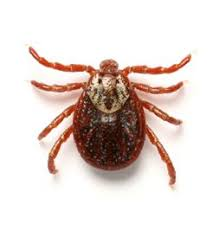 Ticks vs Bed Bugs The Difference Between Ticks & Bed Bugs