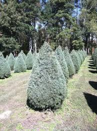 Fraser Christmas Tree Care by Raulston Acres Christmas Tree Farm