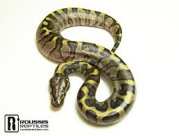 Ball Python Bedding by Ball Python Care Sheet Roussis Reptiles Specializing In The