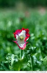 Opium0009 Cs Event On 4 9 04 In Kabul Opium Poppies Flower