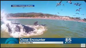 Pumpkin Festival Half Moon Bay Traffic by Video Whale Bumps Paddleboarder In Half Moon Bay Cbs San Francisco