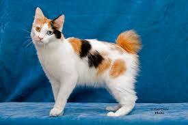 bobtail cat kurisumasu org award winning japanese bobtails