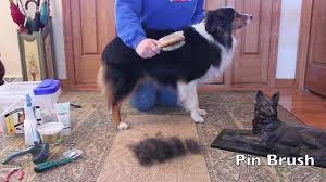 Sheltie Shedding In Winter by Grooming An Australian Shepherd Youtube
