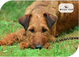 Irish Wolfhound Non Shedding by Non Shedding Dogs 15 Most Practical Breeds Wileypup Com