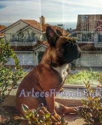 Dogs That Shed Less Hair by Do Frenchies Shed Arlees French Bulldogs