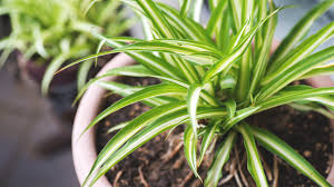 Best Plant For Bathroom Australia by The Best Air Purifying Plants