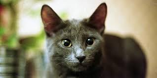 bombay cats bombay cat information characteristics facts names