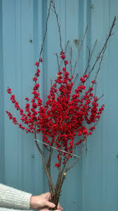 Winterberry Christmas Tree by Red Ilex Loaded With Berries Oregon Coastal Flowers