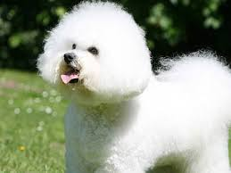 Non Shedding Dog Breeds Small by Hypoallergenic Dog Breeds Best Hypoallergenic Dog List