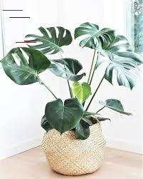 bananenplant 80cm kamerplant wateringplants ook zo