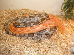 Corn Snake Shedding Time by 2 Corn Snakes And Full Set Up For Sale Mansfield