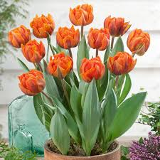 tulip orange princess j parkers bulbs