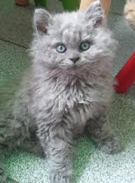 haired cat best 25 curly cat ideas on curly haired cat selkirk