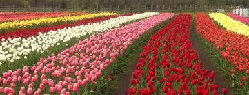 tulips tulip time may 5 13 2018 michigan